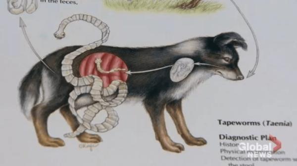加拿大养狗的小心了!这种病毒已蔓延到安省,人类死亡率90%